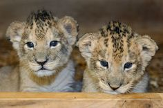 Maryland Zoo Male and Female Orphaned Lion Cubs