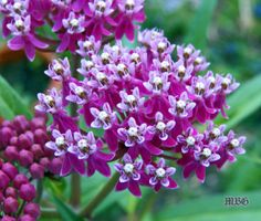 This milkweed species is a favorite monarch nectar flower each summer...