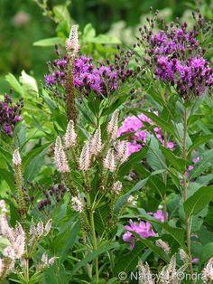 Naturally neighborly: Veronicastrum virginicum 'Erica' (Culver's root) and Vernonia noveboracensis (New York ironweed)