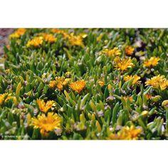 Disphyllum Sunburn PBR