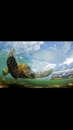 Something about turtles that captures my interest.