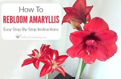 Rebloom Your Amaryllis Bulbs! How To Make Amaryllis Bloom Again