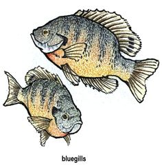 Google Image Result for http://clean-water.uwex.edu/pubs/clipart/images/LAKEART/color/BLUEGILL.gif