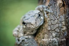 Wilhelm Photography: Gray Tree Frog (gray)