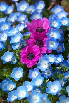 "Spring...oooh forget-me-nots..are the blue ones..I start mine from seeds..and..I also send a package of  ""forget-me-not""seeds in birthday cards..to plant as gifts..."