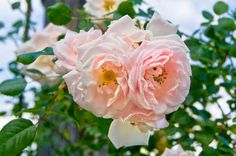Top 10 Best Roses: New Dawn