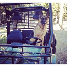 German Shepards are excellent drivers