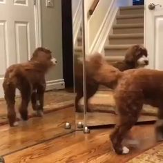 Cats, Dogs, and other cute Animals Funny Animal Videos, Cute Funny Animals, Funny Animal Pictures, Funny Dogs, I Love Dogs, Cute Dogs, Animals And Pets, Baby Animals, Australian Labradoodle