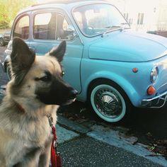 Cute car for a cute dog #declandog  #iwanttobeitaliano #modeldog #cinquecento #brightondog #friyay