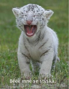 Meow Kitty Look how beautiful the White Tiger is. Cute Kittens, Cats And Kittens, Big Cats, Cool Cats, Funny Animals, Cute Animals, Animal Funnies, Wild Animals, White Tiger Cubs
