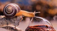 Snail drinking a dew drop from an acorn head  [photo: Vyacheslav Mishchenko]