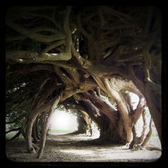 Tree Tunnel, Aberglasney Gardens, Wales