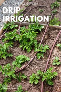 Setting up a drip irrigation system in your garden seems daunting but it is totally doable! Step-by-step instructions and how-to video to guide you through. via @longbournfarm Drip System, Drip Irrigation System, Gardening For Beginners, Gardening Tips, Easy Garden, Home And Garden, Animal Nutrition, Hobby Farms, Small Farm