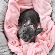 Top 7 Healthiest Dog Food Brands in 2017 Cute French Bulldog, French Bulldog Puppies, Cute Dogs And Puppies, Doggies, Teacup French Bulldogs, American Bulldog Puppies, Baby Animals Pictures, Cute Animal Pictures, Funny Animals