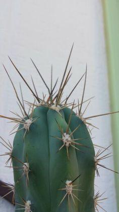 Cactus Cactus, Succulents, Plants, Cactus Plants, Succulent Plants, Planters, Plant, Planting