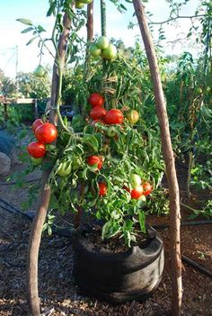 Growing Tomatoes Linked to  Incurable Gardening Addiction  http://www.vegetable-garden-guide.com/how-to-grow-tomatoes.html