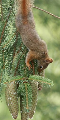 red squirrel | by altan o