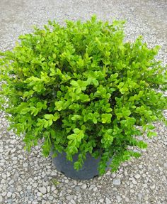 'Winter Gem' is one of the standards for a boxwood hedge.  These plants grow to a rounded shape 3-4' tall and wide.