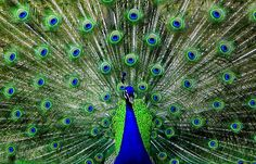 Google Image Result for http://www.wired.com/images_blogs/wiredscience/2011/04/peacock-eye-feathers-flickr-ozgurmulazimoglu.jpg