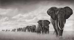 Magnífica By Nick Brandt. Amazing photos, and he does amazing things protecting wildlife in Africa.By Nick Brandt. Amazing photos, and he does amazing things protecting wildlife in Africa. Elephant Facts, Elephant Walk, Elephant Love, Elephant Parade, White Elephant, Elephant Family, Elephant Images, Elephant Meaning, Elephant Quotes