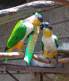 Bird Enrichment.. Zoo staff put together yummy enrichment treats for birds today. Boy did the birds enjoy their treats! The Emperor Valley Zoo's Animal Enrichment Programme is geared towards enhancing the lives of our animals.   Photo: Sharleen Khan