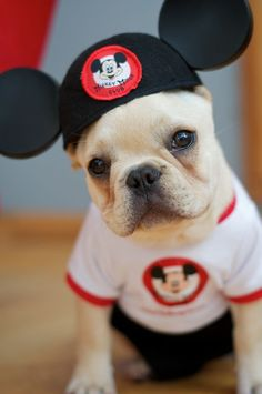 ♥ Cutest Mouseketeer ever! ♥ Pet Photography | Dog | Fun photo session Ideas | Props | Portraits | French Bulldog | Disney World | Disneyland: Animals, Mickey Mouse, French Bulldogs, Pets, Frenchbulldog, Puppy, Box, Disney Dog