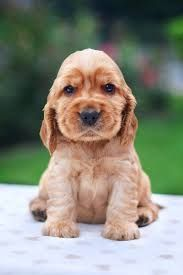 Image result for english cocker spaniel puppies