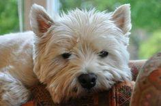 Westie dozing, but always on guard duty :)