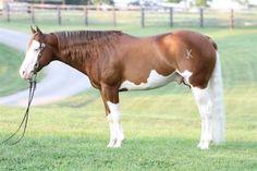 Ju Juzz Gunslinger Andalusian Horse, Friesian Horse, Arabian Horses, Palomino, Horse Photos, Horse Pictures, Horse Markings, American Paint Horse, Horse Ears