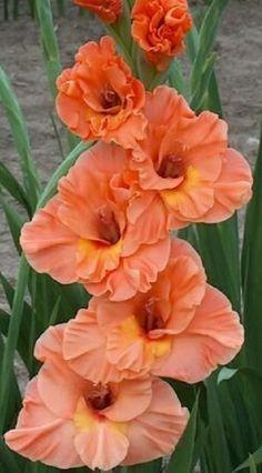 """Gladiolus """"Catharina"""""""