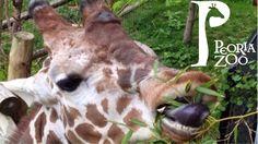 Giraffe Feeding at Peoria Zoo.