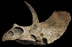 Eotriceratops has one of the largest skull of any ceratopsian (horned dinosaur) known. It belongs to the same family as Triceratops, but lived earlier in time, about 68 million years ago.