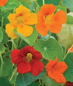 Nasturtium Double Gleam Mixed Colors is still being grown for its large fragrant blooms...   available at burpee.com