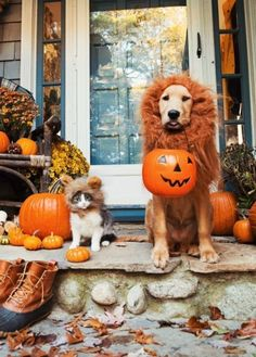 Friends and Pets Halloween 2016 - Herbst Außendekoration - Dogs Tarzan Und Jane, Perros Golden Retriever, Golden Retrievers, Halloween 2016, Halloween Puppy, Halloween Costumes For Dogs, Happy Halloween Pictures, Couple Halloween, Halloween Horror