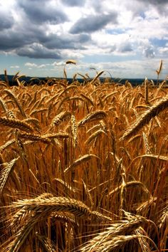 The fields of gold and reminds me of a wonderful childhood!