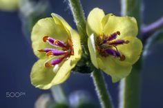 amarillos y malvas - Flores de primavera