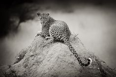 . cheetahs, vans, scrapbooks, nature, black white, leopards, armin van buuren, tigers, taylors