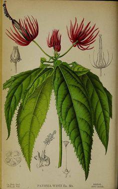 """sisterwolf: """" Pavonia, La Belgique horticole, journal des jardins et des vergers, 1875 """""""