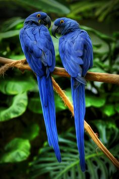 Hyacinth Macaws by Keith Mitchell
