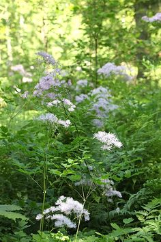 Lehtoängelmä (Thalictrum aquilegiifolium) kasvaa noin 1,5 metrin korkuiseksi. Text and photo Outi Tynys