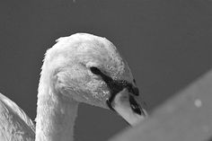 Swan face with waterdrops, converted in black and white - Picture shot in Sorico, Como, Italy. Como Italy, Black And White Pictures, Swan, Face, Animals, Swans, Animales, Animaux, The Face