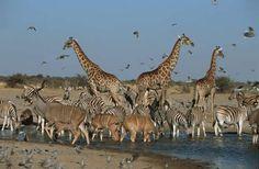 Des coudous, des zèbres et des girafes s'abreuvent dans le parc national d'Etosha, en Namibie.