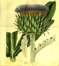 Globe Artichoke - Cynara cardunculus var. scolymus - circa 1883