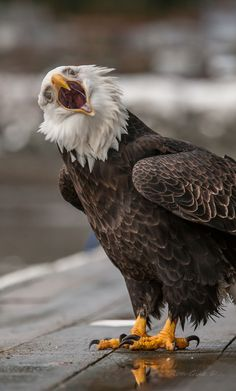 """photographer Ron Gile's description: """"Mid winter the eagles here in Juneau Alaska are getting hungry"""""""