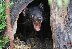 New Hope for Tasmanian Devils in Fight Against Contagious Cancer - The New York Times