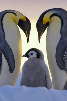 Pinguino Emperador Parents Love - Emperor penguins and chick (by Anneliese & Claus Possberg on Nature Animals, Animals And Pets, Baby Animals, Funny Animals, Cute Animals, Animal Babies, Arctic Animals, Wild Animals, Small Animals