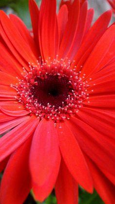 Gerber daisy - brilliant colour