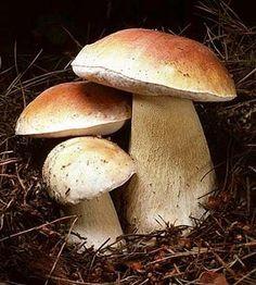 Russian porcini mushrooms