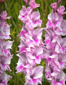 Zamora Gladiolus #radiantorchid