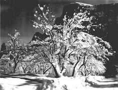 Ansel Adams: Half Dome, Apple Orchard, Yosemite trees with snow on branches, April 1933.